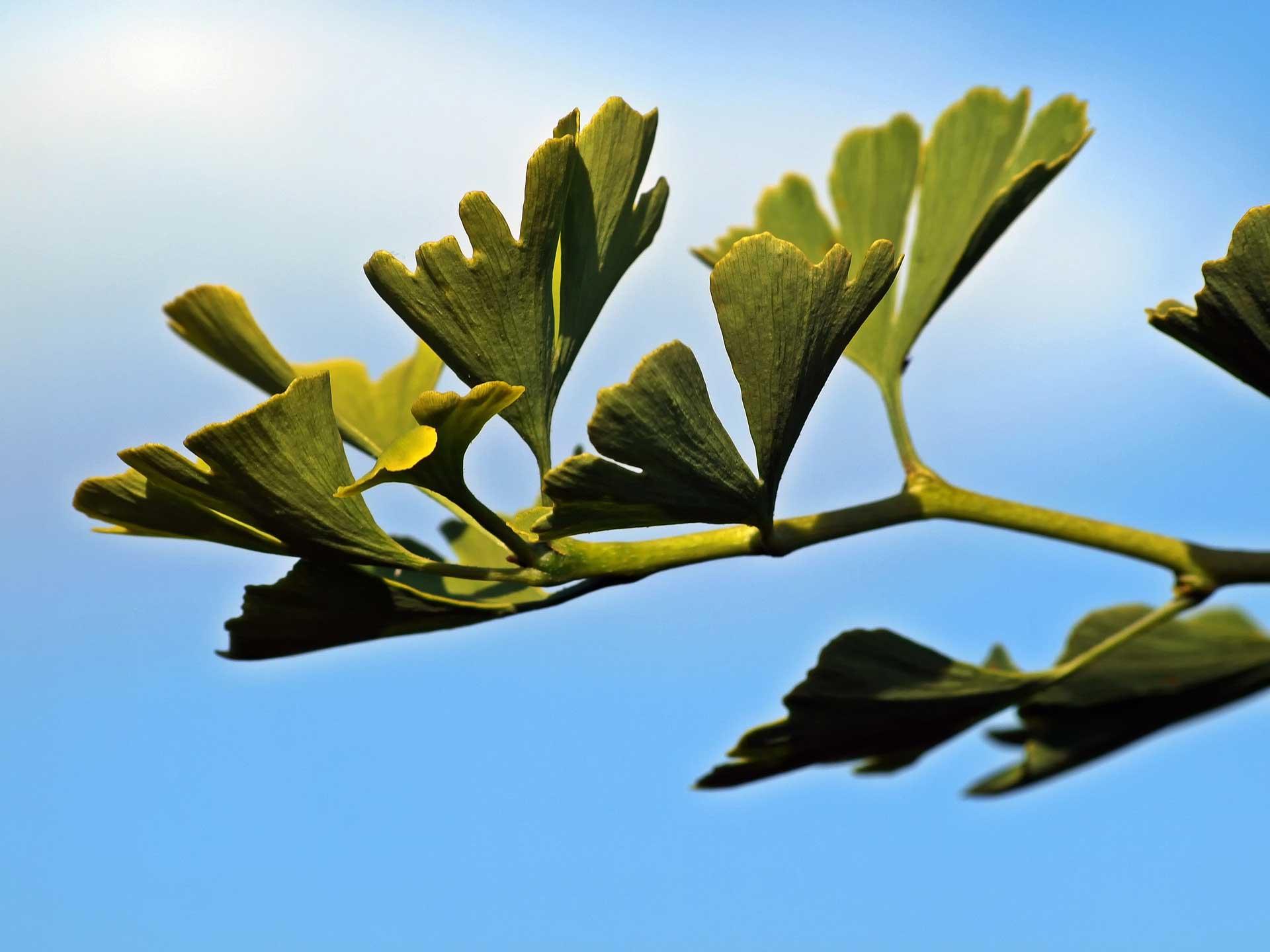 Ginkgo biloba levelek