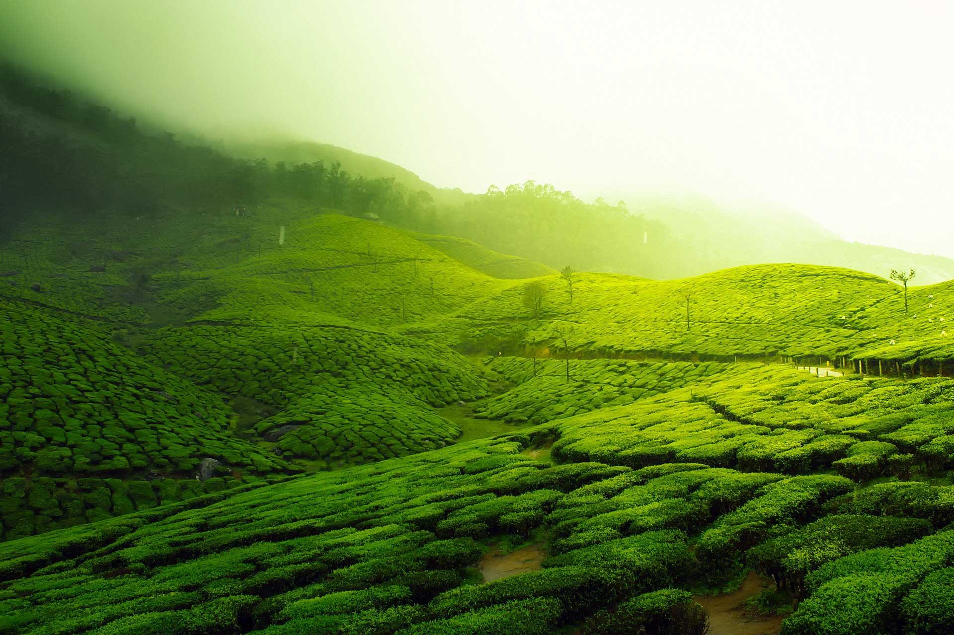 Zöld tea ültetvény