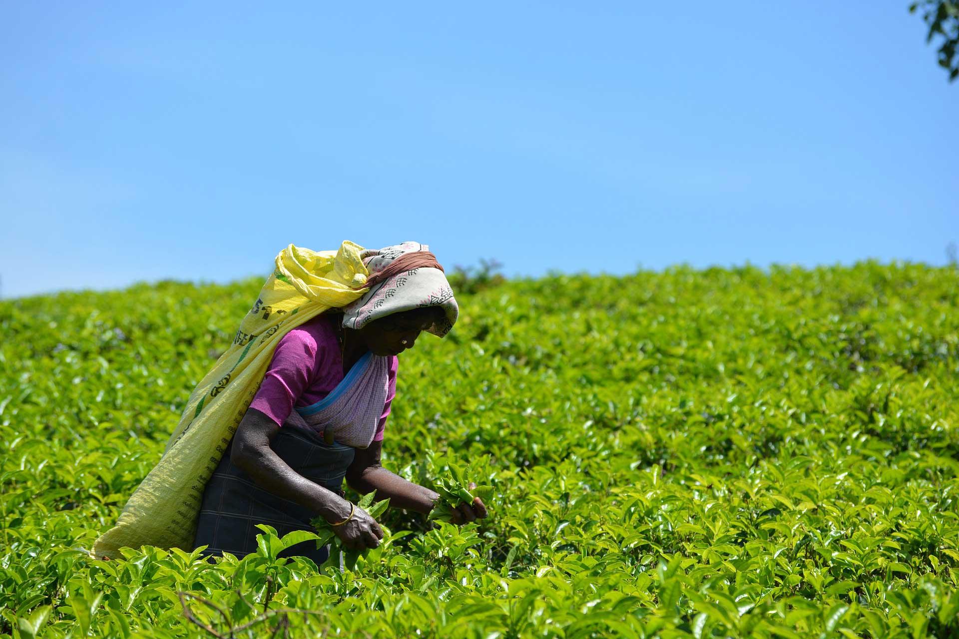 Zöld tea betakarítás