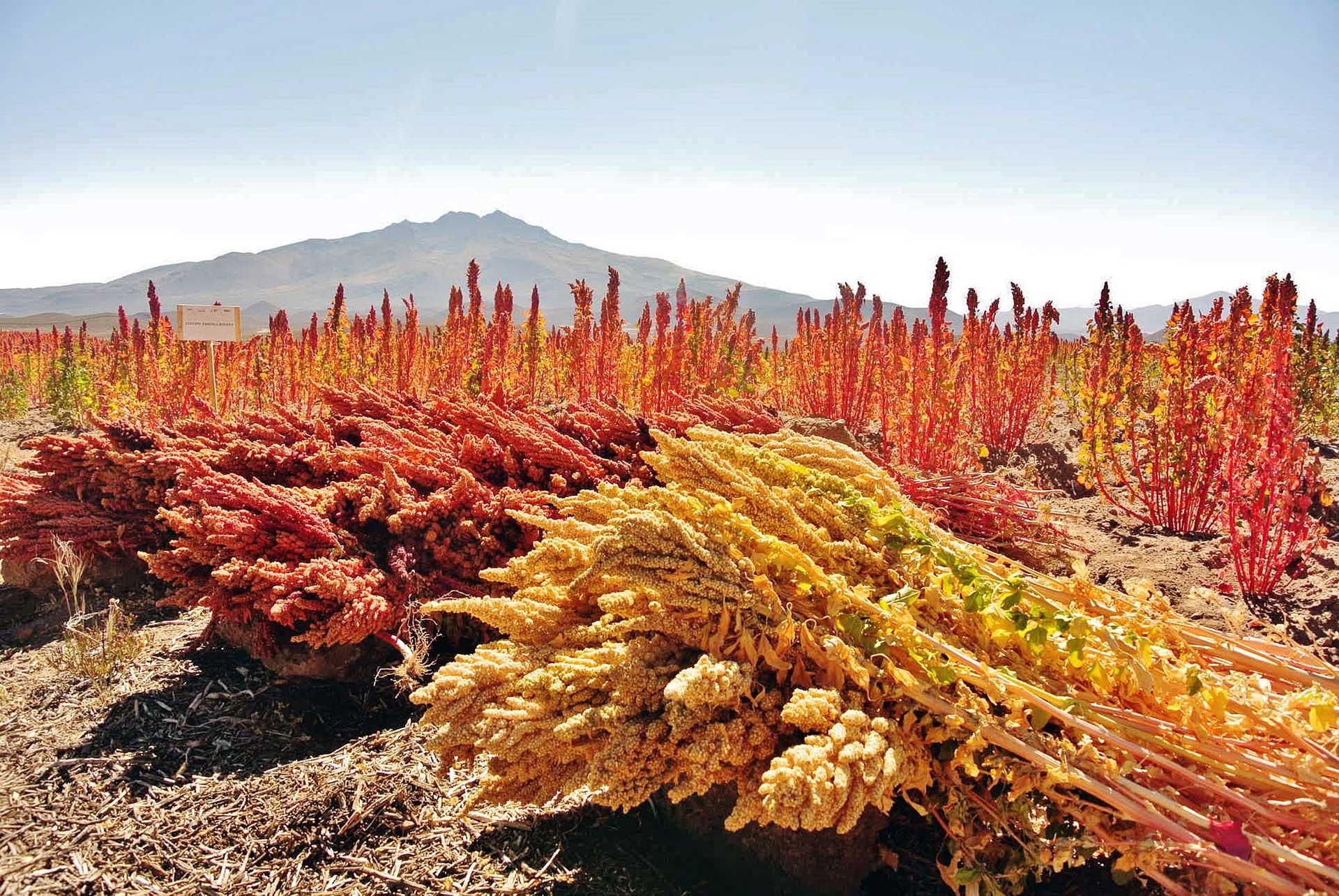 Quinoa kalász