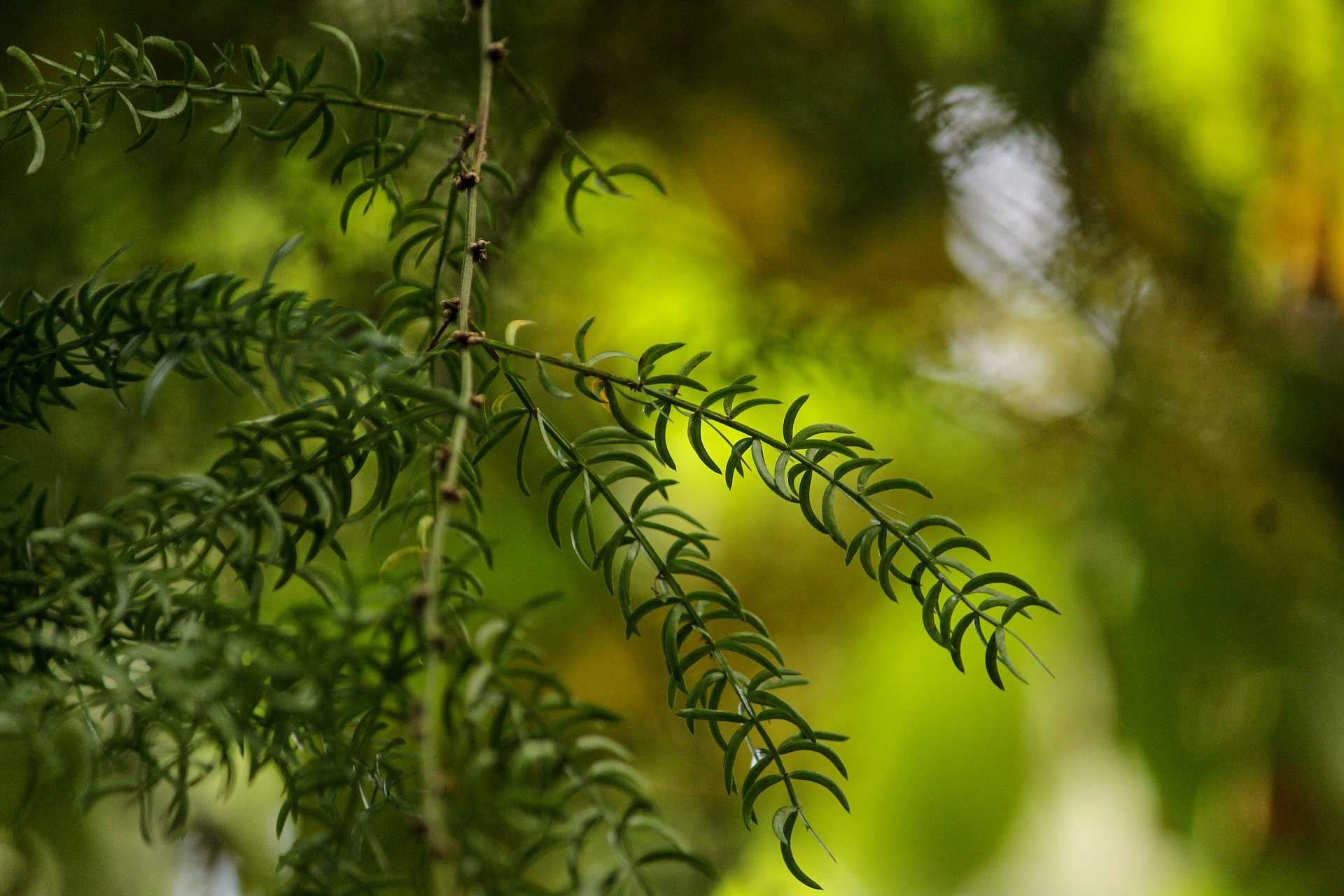 Shatavari növény